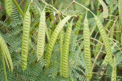 Free Green Leucaena Glauca Seeds In Nature Garden Stock Photography - 100620752