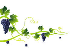Green liana and blue grapes Royalty Free Stock Photo