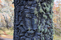 Green lichen on bark of monkey-puzzle tree, Patagonia, Chile, South America Royalty Free Stock Photo