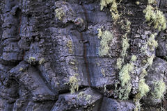 Green lichen on bark of monkey-puzzle tree, Patagonia, Chile, South America Royalty Free Stock Photography
