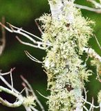 Green lichen on the bark of a red maple tree. Green lichen covering the bark of a red maple tree with a blurred backgound to make it stand out royalty free stock image