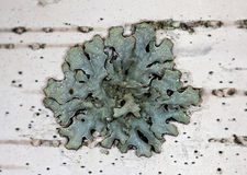 Green lichen on a birch Royalty Free Stock Image