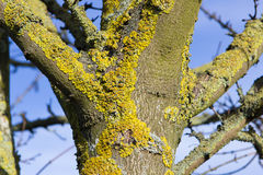 Green lichen covered the tree Stock Photography