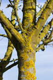 Green lichen covered the tree Royalty Free Stock Image