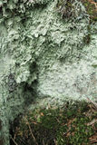 Green lichen Royalty Free Stock Images