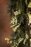 Green lichen Royalty Free Stock Photography