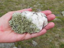 Green lichen on white quartzite in the palm. Close-up. Nature of Baikal. Olkhon Island royalty free stock images