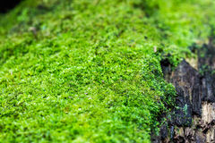 Green lichens Royalty Free Stock Image