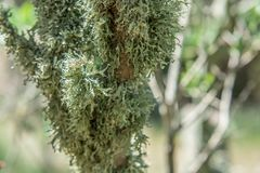 Green lichens on the branch of an tree royalty free stock image
