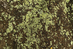 Green lichens on the tree. Closeup Royalty Free Stock Photos