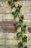 Green Life On Brick. A multi coloured brick wall with a leafy vine climbing up the side.  Focus point is center of image and perceived grain is brick texture Stock Photography