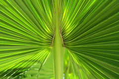 Green life. A close-up photograph of a fan palm leaf, Cuba, juicy color Royalty Free Stock Images