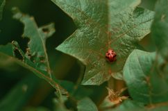 Green Life with Lady Bug. Lady Bug At Mountain, On elevation 1200M asl in West Java royalty free stock photo