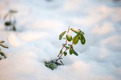 Green life in snow Royalty Free Stock Photos