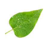 Green lilac leaf Stock Image