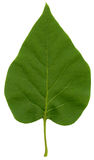 Green lilac leaf Royalty Free Stock Images