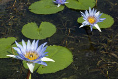 Green Lilly Pads on Pond with Blue Lotus Flowers Stock Image