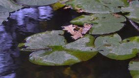 Green Lily Leaves Flowers. Green lily leaves on the water surface of a forest lake stock video footage