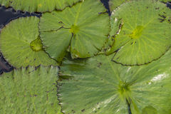 Green Lily Pad Leaves. A group of green lily pad leaves overlapping Royalty Free Stock Image