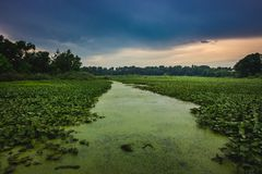 Path Through the Lily Pads. Green lily pads covering Stone Lake with an algae-dense path running through the lake at sunset on a cloudy summer day, LaPorte Royalty Free Stock Photography