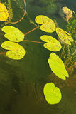 Green lily pads floating in blue clear water pond Royalty Free Stock Photos