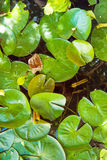 Green lily pads floating on pond Stock Photos