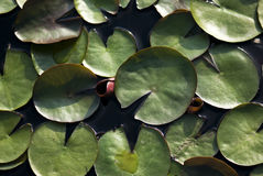 Green Lily Pads. Green waterlily pads float on the water on a summer afternoon Stock Images