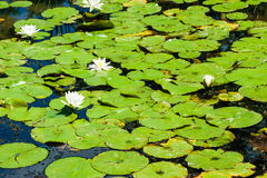 Green lily pads and white flowers on pond. Royalty Free Stock Image