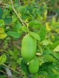 Green lime. Fresh fruit veggerable stock photography
