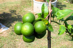 Green lime. Fresh green lime on a tree Royalty Free Stock Images