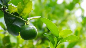 Green Lime fruit hanging on tree. Green Lime fruit hanging on tree in the garden blur background Royalty Free Stock Images