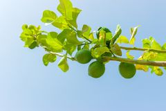 Green lime fruits on green tree against blue sky. close up.  royalty free stock photography