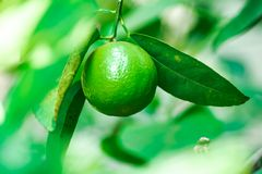 Single green lime or green lemon tropical fruit growing up in the garden at home, ingredients for salad or juice or menus of food. Green lime or green lemon stock photos