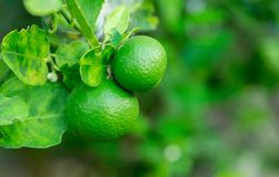 Green Lime hanging on the tree in the garden. Green Lime hanging on the tree in the garden with nature background blur royalty free stock image