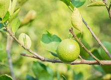 Green lime hanging on the tree in garden. Stock Photography