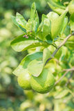 Green lime hanging on the tree in garden. Royalty Free Stock Images