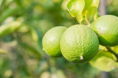 Green lime hanging on the tree in garden. Stock Photo