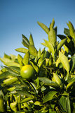 Green lime hanging on a tree. South Africa stock photography