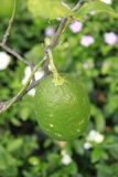 Green lime on plant Stock Photography