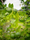 Green lime on the tree background. Selective focus royalty free stock image
