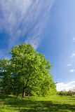 Green lime tree and blue sky Stock Photo