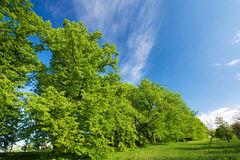 Green lime tree and blue sky. Fresh spring motive royalty free stock photos