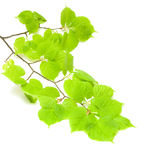 Green lime tree branch Stock Image