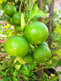 Green lime on tree. Fresh green lime on tree branch Stock Photos