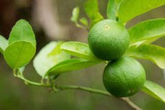Green lime. On tree in garden royalty free stock image