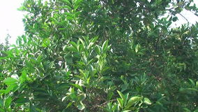 Green lime tree growing fresh citrus stock footage