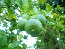 Green lime on tree. And leaves. Delicious ingredients for cooking and juice for healthy royalty free stock image