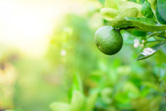 Green Lime Tree. Selective Focus in Morning royalty free stock images