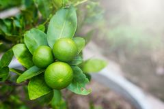 Green lime tree sour Lemon in the garden. Thailand stock photo