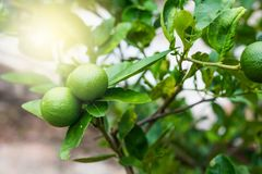 Green lime tree sour Lemon in the garden. Thailand stock image